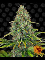 Barneys Farm - Blue Cheese Autoflowering Feminised Single Cannabis Seed