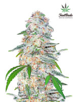 Fast Buds Seeds - Blue Dream'matic Feminised Autoflowering Cannabis Seeds