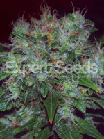 Expert Seeds - Blue Funk Auto Feminised Cannabis Seeds
