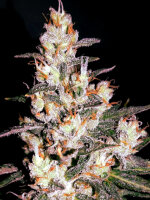 Bongo Bulk - Auto Wedding Cake Feminised Autoflowering Cannabis Seeds