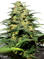 Bongo Bulk - Big Bud Early Version Feminised Cannabis Seeds