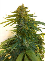 Bongo Bulk - Blue Cheese Feminised Cannabis Seeds