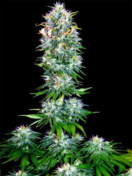 Bongo Bulk - Blueberry x OG Kush Feminised Cannabis Seeds - Ali Bongo Seeds