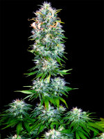 Bongo Bulk - Blueberry x OG Kush Feminised Cannabis Seeds