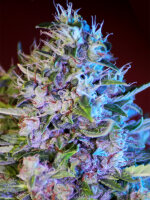 Bongo Bulk - Cream Candy Auto Feminised Autoflowering Cannabis Seeds