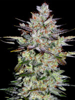 Bongo Bulk - Wedding Cake Feminised Cannabis Seeds