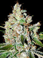 Bongo Bulk - White Fire OG (WiFi OG) Feminised Cannabis Seeds