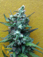 Breaking Buds Seeds - Big Whoop Auto Feminised Cannabis Seeds