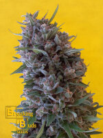 Breaking Buds Seeds - Cheeisenberg Feminised Cannabis Seeds