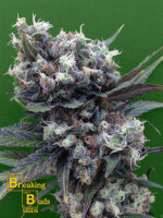 Breaking Buds Seeds - Malverde Feminised Cannabis Seeds