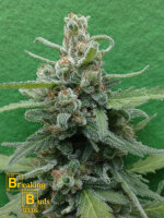 Breaking Buds Seeds - Soylent Green Auto Feminised Cannabis Seeds