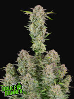 Fast Buds Seeds - Bruce Banner Auto Feminised Autoflowering Cannabis Seeds