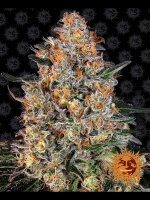Barney's Farm - Bubba Kush Feminised Cannabis Seeds