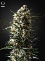 Green House Seeds - Bubba Slush Feminised Cannabis Seeds