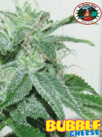 Big Buddha - Bubble Cheese Feminised Single Cannabis Seed