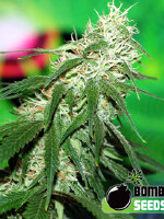 Bomb Seeds - Buzz Bomb Feminised Cannabis Seeds