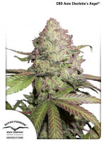 Dutch Passion - CBD Charlotte's Angel Auto Feminised Cannabis Seeds