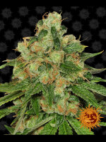 Barneys Farm - CBD Caramel Regular Cannabis Seeds