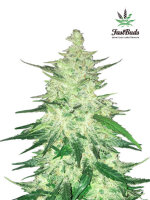 Fast Buds Seeds - CBD Crack Single Feminised Autoflowering Cannabis Seeds