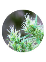 Top Tao Seeds - CBD Haze 10 Regular Autoflowering Cannabis Seeds