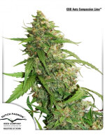 Dutch Passion - CBD Auto Compassionate Lime Feminised Autoflowering Cannabis Seeds