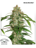 Dutch Passion - CBD Auto Widow Feminised Autoflowering Cannabis Seeds