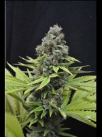 CBD Crew - Shark Shock 5 Feminised Cannabis Seeds