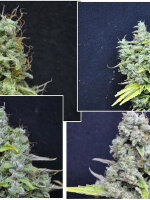 CBD Crew - Skunk Haze 5 Feminised Cannabis Seeds