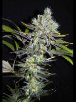 CBD Crew - Sweet & Sour Widow 5 Regular Cannabis Seeds