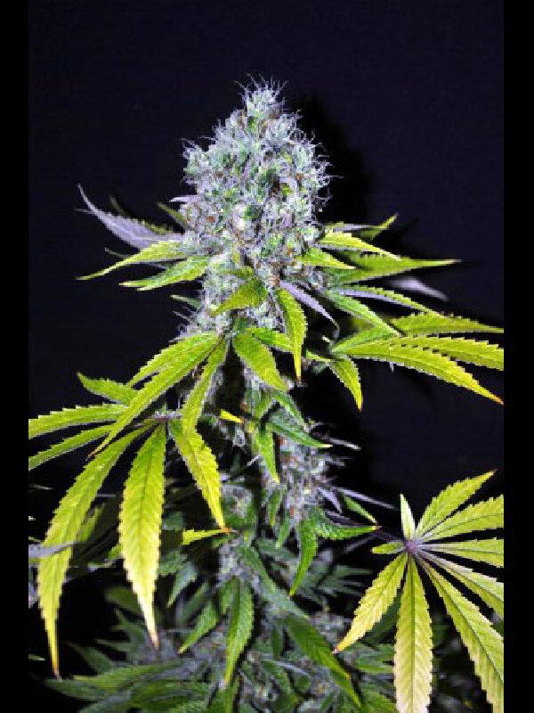 CBD Crew - Yummy 5 Feminised Cannabis Seeds - Ali Bongo Seeds