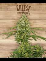 The Plant Organic Seeds - Cheese - Feminised Cannabis Seeds