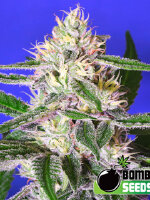 Bomb Seeds - Edam Bomb Feminised Cannabis Seeds