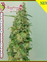 Dr Krippling Seeds - Chemdog Millionaire Feminised Cannabis Seeds
