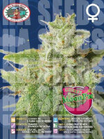 Big Buddha Seeds - Cherry Moon Pie Feminised Cannabis Seeds