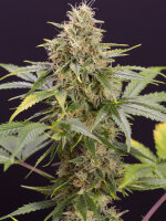 Humboldt Seed Organisation - Chocolate Mint OG Auto Feminised Autoflowering Cannabis Seeds