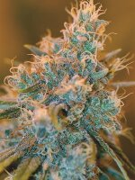 DNA Genetics - Chocolope Kush Feminised Cannabis Seeds