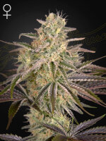 Green House Seeds - Cloud Walker Feminised Cannabis Seeds