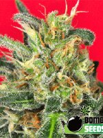 Bomb Seeds - Cluster Bomb Feminised Cannabis Seeds