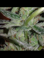 Connoisseur Genetics - Silver Nevil Feminised Cannabis Seeds 5 Pack