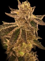 Rare Dankness - Cookie OX - Feminised Cannabis Seeds