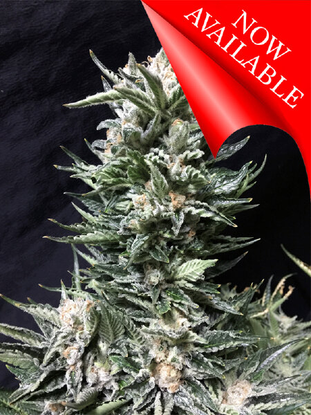 Cream of the Crop - Bruce the Russian - Feminised Cannabis Seeds