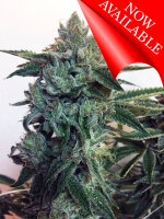 Cream of the Crop - Sticky Zkittlez Glue - Feminised Cannabis Seeds