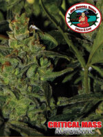 Big Buddha -  Auto Critical Mass Feminised Autoflowering Single Cannabis Seed
