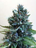 Cream of the Crop - Cropolope Feminised Cannabis Seeds