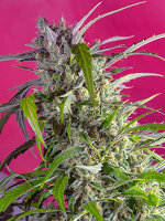Sweet Seeds - Crystal Candy Auto Feminised Autoflowering Cannabis Seeds