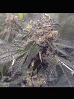 Dank Genetics - Dank Sherbert Feminised Cannabis Seeds 7 Pack