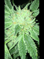 Dankhunter Seeds Co. - ODV-Z Regular Cannabis Seeds