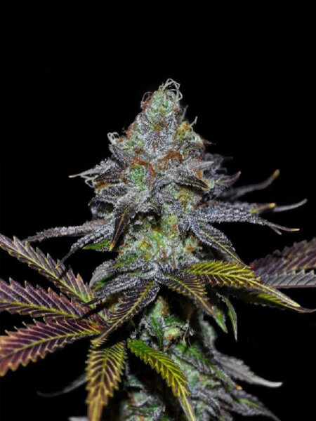Dark Horse Genetics - Lemon Twizzler Regular Cannabis Seeds