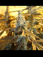 Dark Horse Genetics - Orange Blossom Fizz Regular Cannabis Seeds