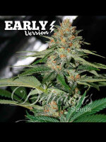 Delicious Seeds - Delicious Candy Early V Feminised Cannabis Seeds